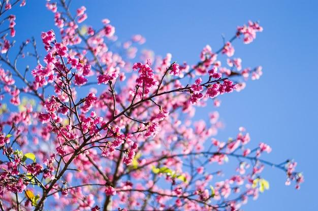 Rosa dei fiori di ciliegio con cielo blu