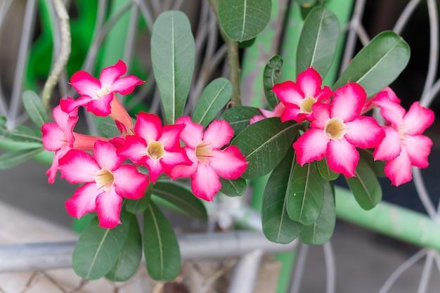 Rosa del deserto rosa o giglio di impala o finto fiore di azalea dal clima tropicale