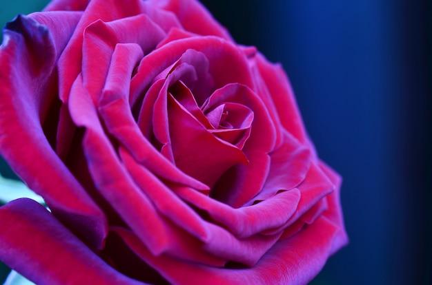 Rosa fresca e bagnata con le goccioline nella macro
