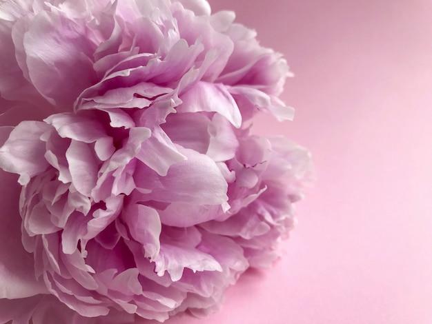 Rosa fresca estate peonie fiori concetto festa della donna biglietto di auguri festa della mamma san valentino sfondo rosa luce naturale messa a fuoco selettiva