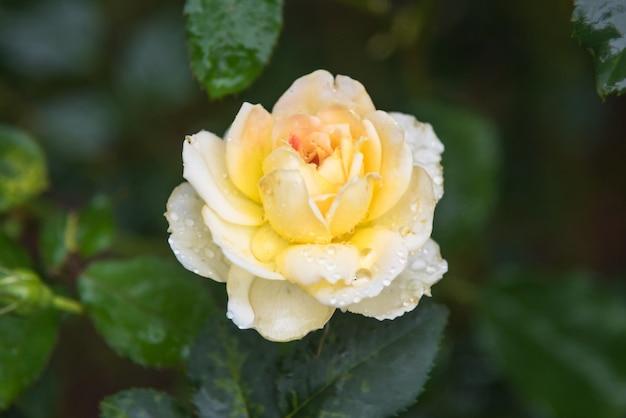 Rosa gialla con gocce di rugiada in giardino.