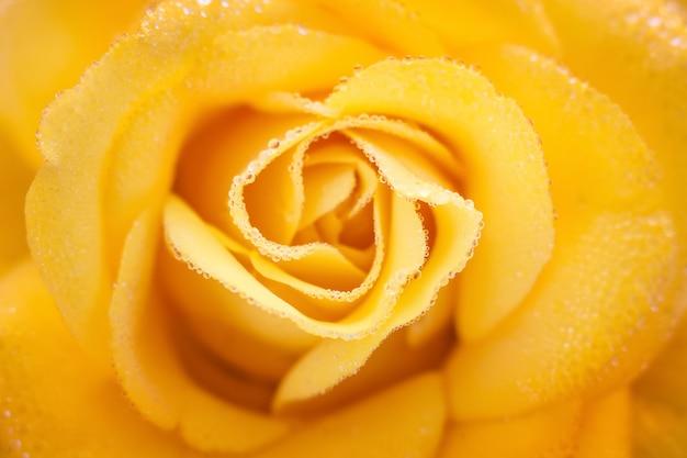 Rosa gialla con le gocce del primo piano della rugiada, fondo