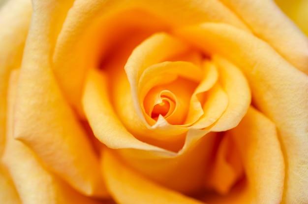 Rosa gialla offuscata con sfondo sfocato modello
