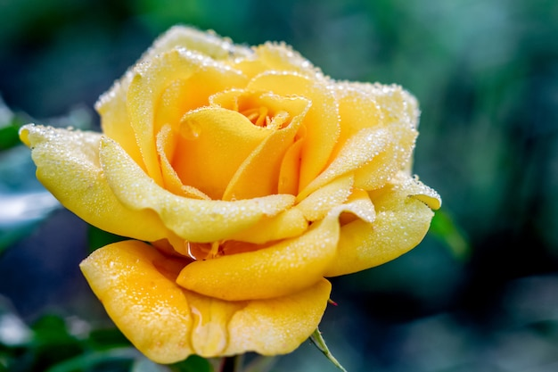 Rosa gialla su uno sfondo scuro con gocce di rugiada al mattino