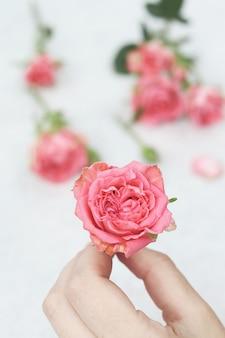 Rosa rosa in mano di donna