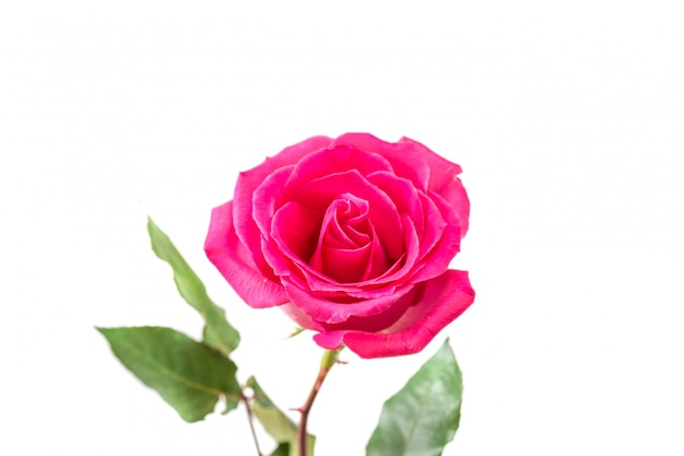 Rosa rosa isolata