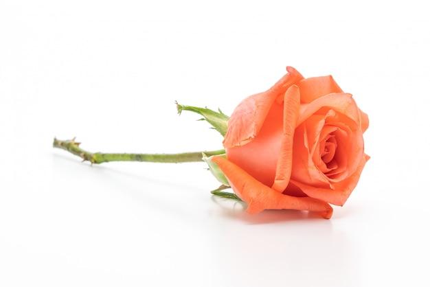 Rosa rosa su sfondo bianco