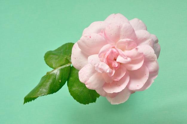 Rosa rosa su verde