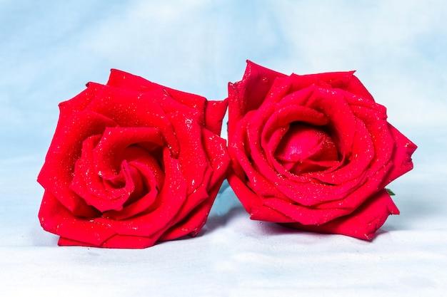 Rosa rossa con gocce d'acqua