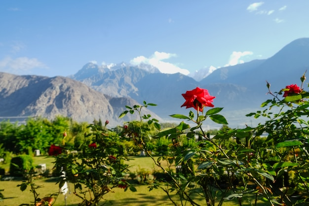 Rosa rossa di fioritura contro la vista di paesaggio di fogliame verde in estate e catena montuosa del karakoram