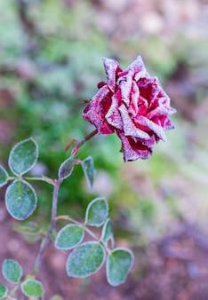 Rosa rossa in fiore coperta di brina dopo il primo gelo autunnale.
