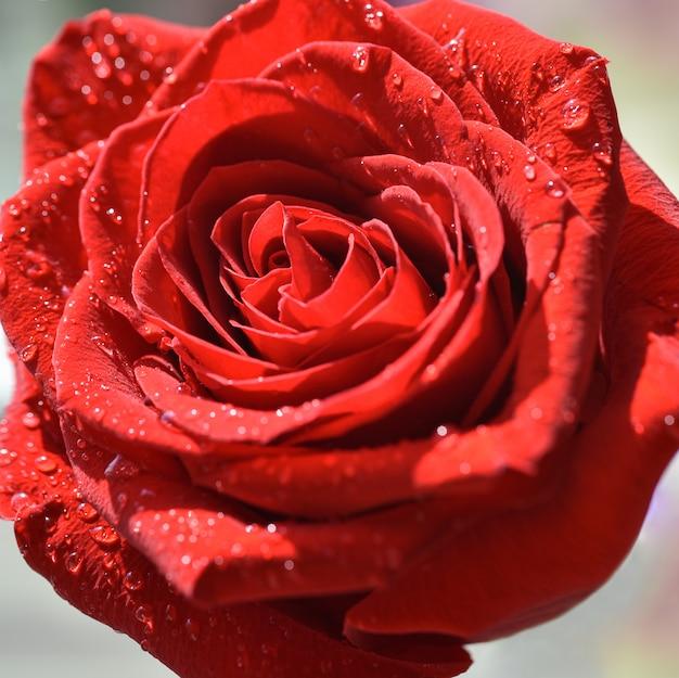 Rosa rossa luminosa isolata primo piano nelle gocce di acqua