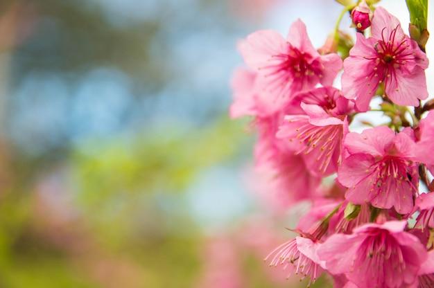 Rosa sakura in giardino.