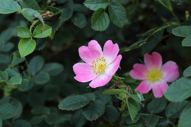 Rosa selvatica su foglie verdi