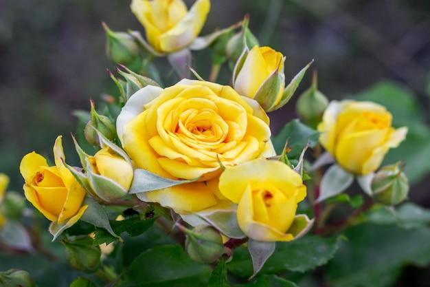 Rose gialle nel giardino floreale. coltivazione e vendita di fiori per le celebrazioni