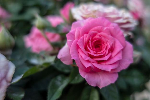 Rose rosa fata sono nel giardino.