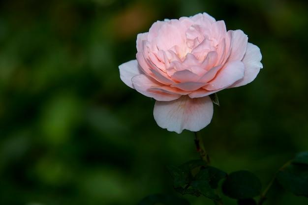 Rose rosa su un'estate verde del cespuglio