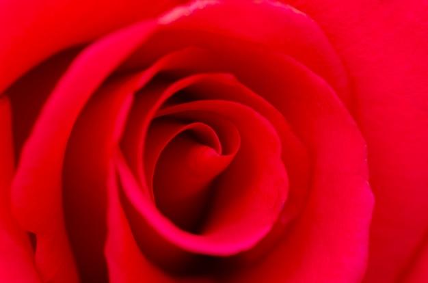 Rose rosse sfocate con sfondo sfocato modello.