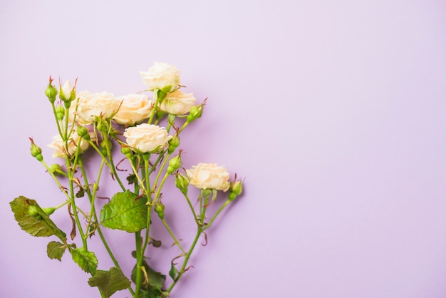 Rose su sfondo lilla