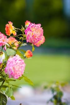 Rose variopinte di fioritura variopinte fresche nel giardino di primavera