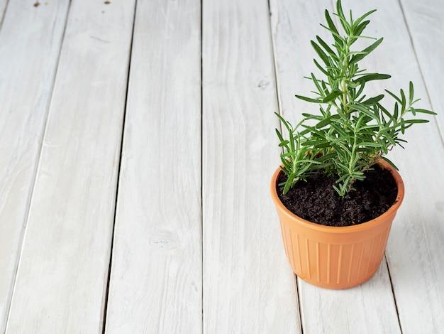 Rosmarino biologico piantato in vasi posizionati su un pavimento di legno bianco con un'area di copia.