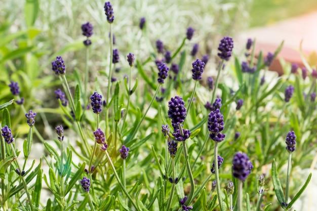Rosmarino medicinale di fioritura a casa all'aperto