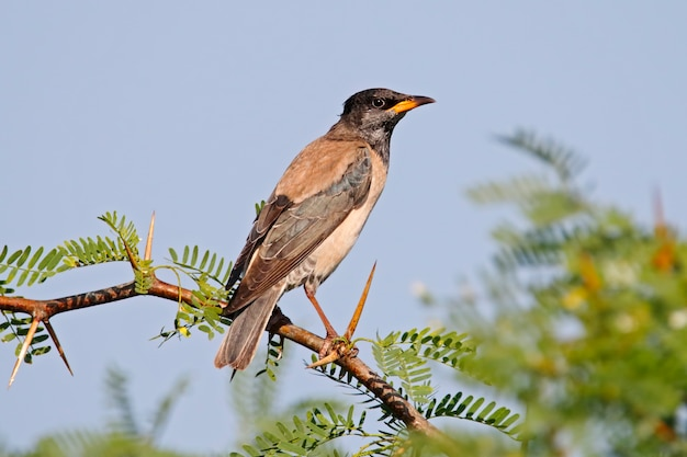 Rosy starling pastor roseus bellissimi uccelli della thailandia