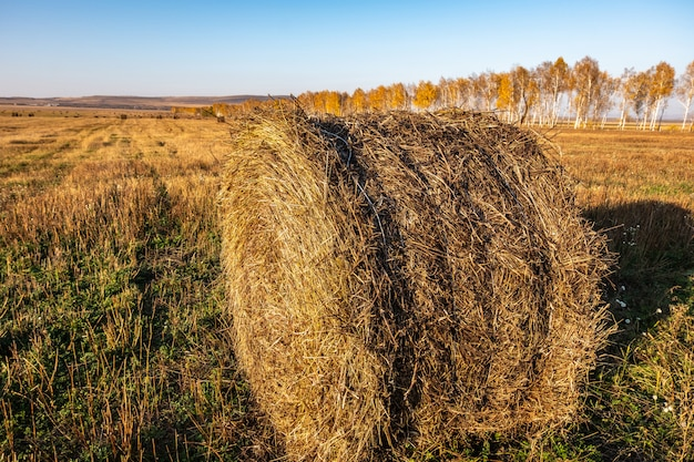 Rotolo di fieno fresco nel campo autunnale, alimentazione del bestiame