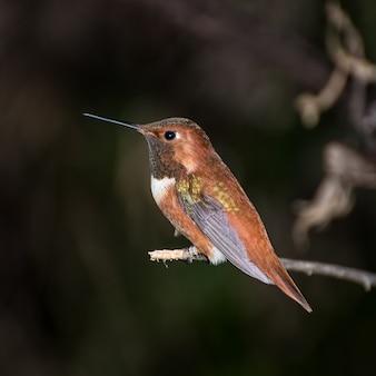 Rufous hummingbird arroccato sull'arto