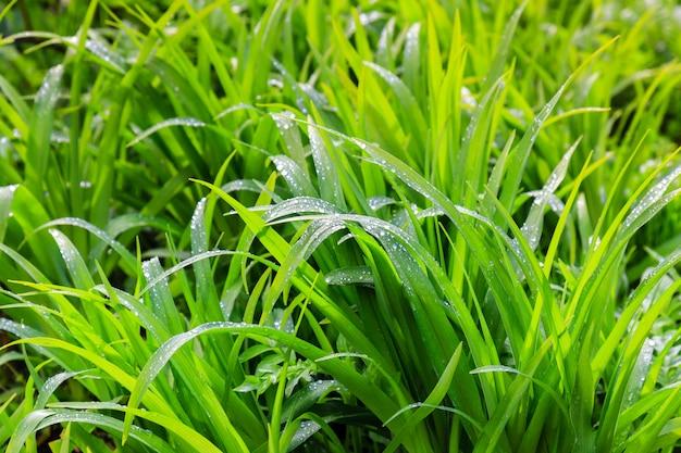 Rugiada fresca sul primo piano dell'erba verde
