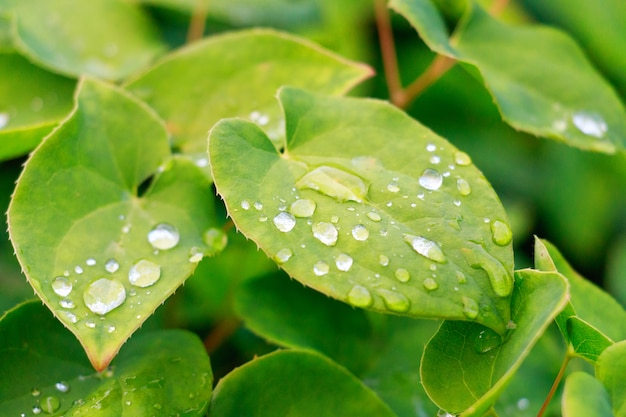 Rugiada sulla foglia verde, macro vista