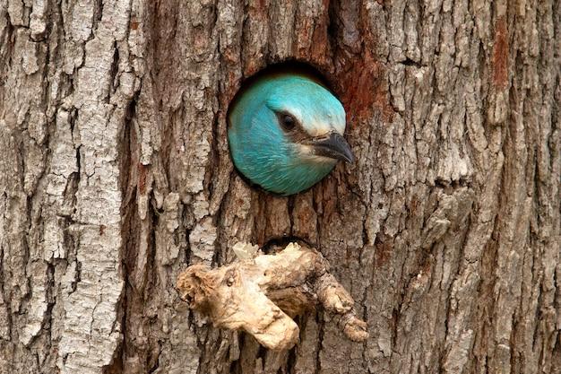 Rullo europeo con le prime luci del giorno nel nido, uccelli, coraciformi, coracias garrulus