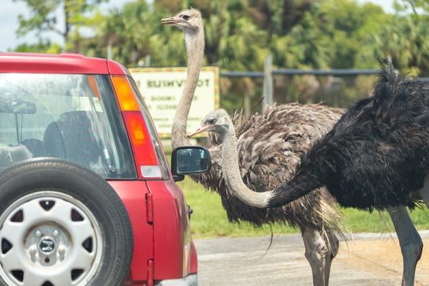 Safari in auto attraverso il parco di west palm beach in florida. automobili che guidano vicino agli animali nello zoo animale libero della gabbia
