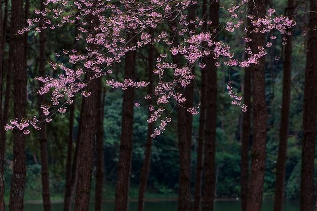 Sakura in tailandia.