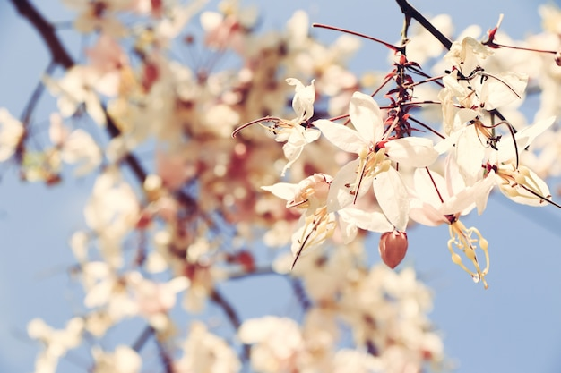 Sakura tailandia