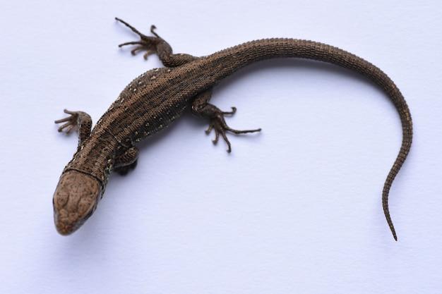 Salamandra immagini di archivi di illustrazioni salamandra