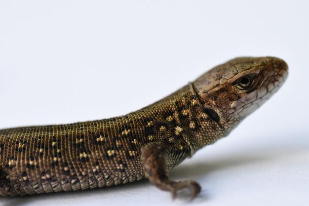 Salamandra grigio modello senza giunture illustrazione vettoriale