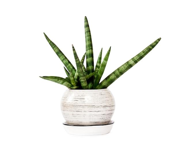 Sansevieria cylindrica in vaso var. patula (boncel) isolata on white