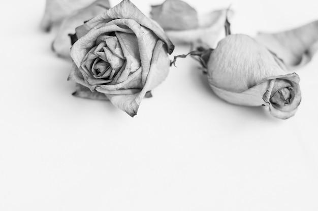 Sbiadire i fiori. rosa morta cornice di rose appassite.