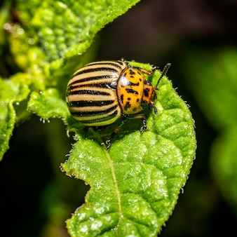 Scarabeo del colorado. primo piano dell'insetto. parassiti