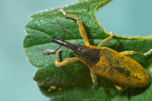 Scarabeo di muso (lixus angustatus)