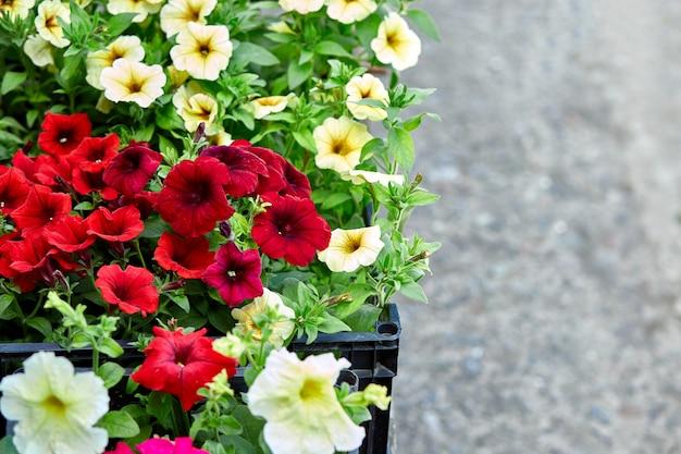 Scatole con le piantine della petunia dei fiori per piantare all'aperto.