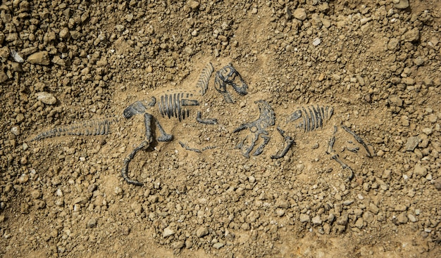 Scava fossili dinosauro lotta tirannosauro e triceratopo