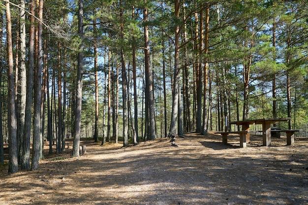 Scena della pineta con zona picnic. parco nazionale di kemeri, lettonia