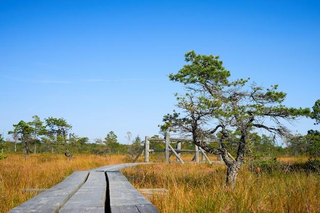 Scena della pineta in palude alzata. parco nazionale di kemeri, lettonia