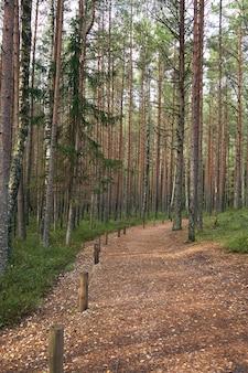 Scena di pineta. parco nazionale kemeri, lettonia