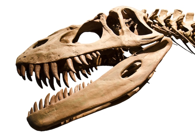 Scheletro del dinosauro sopra priorità bassa isolata bianca