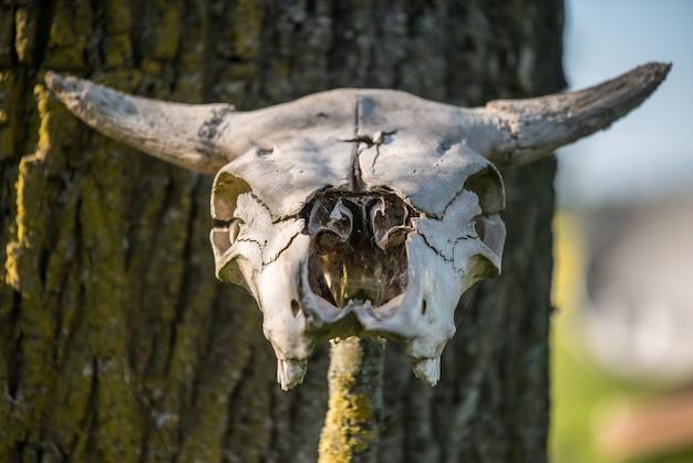 Scheletro della testa della mucca cornuta che appende su legno