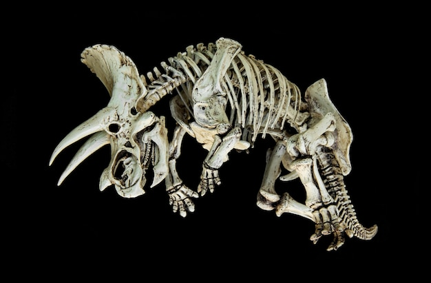 Scheletro di dinosauro triceratopo.