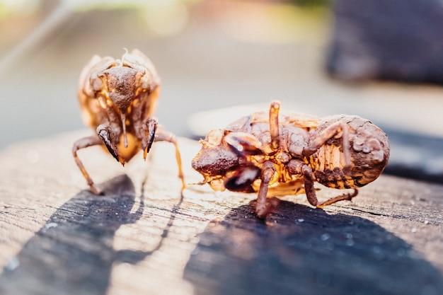 Scheletro secco della ninfa dell'insetto cicala, mostruoso, vuoto dopo la sua metamofosi.